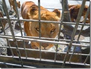 富士サファリパークのエサを狙う雌ライオン