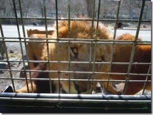 富士サファリパークのエサを食べる雄ライオン